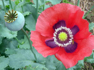 August birth flowers gardening austin as for the poppy these comparatively dainty blooms are also available in a wide variety of colors red poppies symbolize pleasure white ones are sent to mightylinksfo