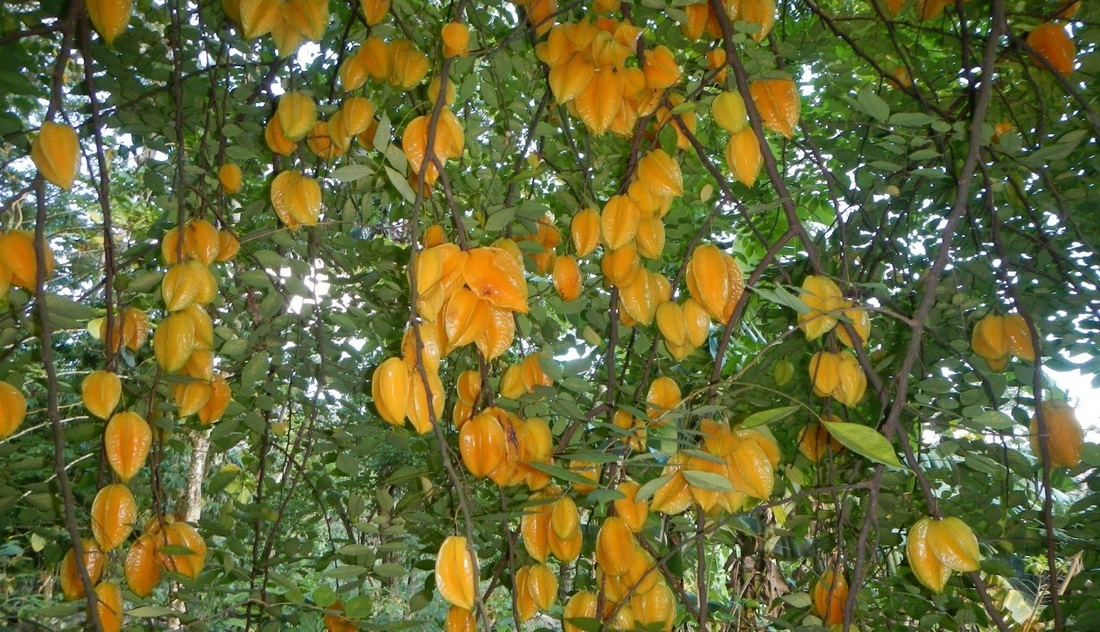 star fruit  flavorful and full of nutrition  gardening austin, Beautiful flower